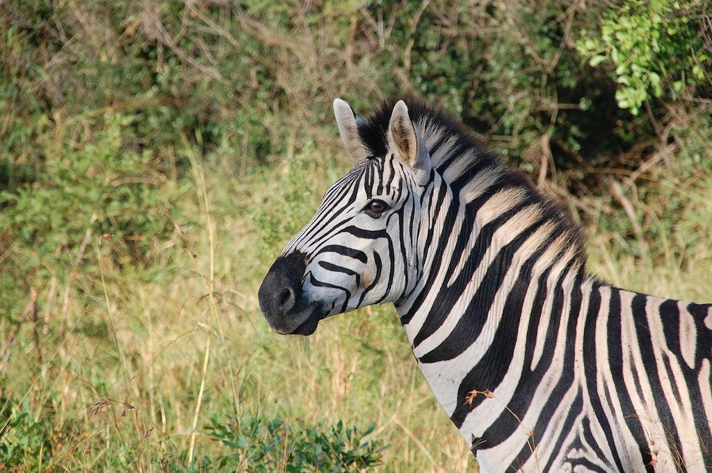 Zebra spotting in the wild on a South African safari.