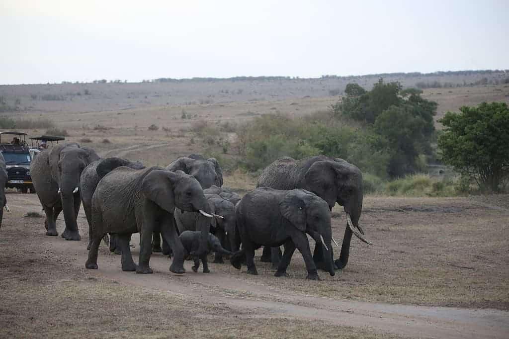 Which Is Better Serengeti Or Maasai Mara?